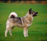 german shepherd