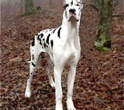 great_dane