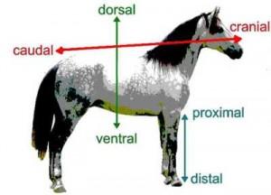 equin-anatomi