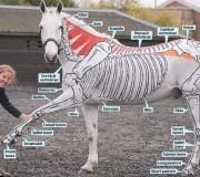 horsesinside-anatomi